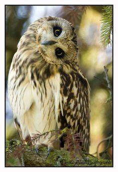 Short-Eared Owl by Alain Balthazard via 500px