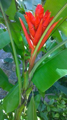 Red Dwarf Banana / Scarlet Banana ( Musa uranoscopus)