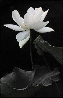 Lotus Flower - IMG_4746   por Bahman Farzad