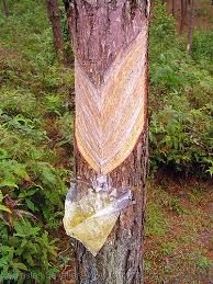 Urban Prepper Chick - Learn as I Go: Pine sap, pitch, tar?? and its uses