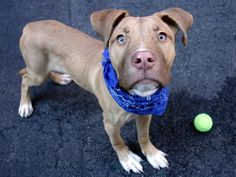SAFE 11-7-2015 --- Manhattan Center JEWEL – A1056247 MALE, BROWN / WHITE, PIT BULL MIX, 6 mos STRAY – STRAY WAIT, NO HOLD Reason ABANDON Intake condition UNSPECIFIE Intake Date 10/28/2015