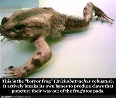 The Horror Frog