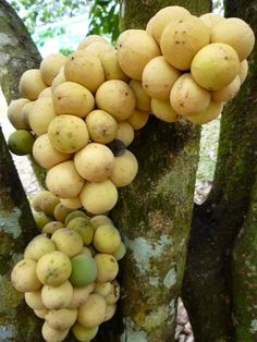 Lanzones, a tropical fruit from Southeast Asia