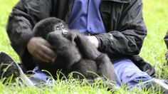 """Ihirwe means """"luck."""" You might think there's some irony to calling a baby mountain gorilla """"lucky"""" who was taken from her family by poachers, her mother most. Mountain Gorilla, Social Injustice, Primates, Cute Baby Animals, Cute Babies, Youtube, Primate, Youtubers"""