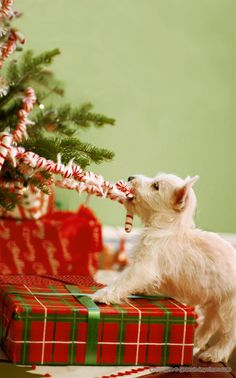 Westie pup pulling on Christmas tree garland! #dogs #pets #WestHighlandWhiteTerriers #puppies facebook.com/sodoggonefunny