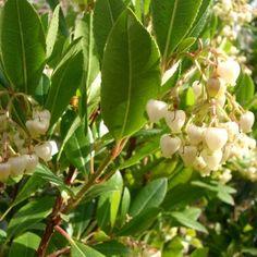 Arbutus unedo Tree Arbutus Unedo, Strawberry Tree, Fall Fruits, Evergreen Trees, Types Of Soil, Shrubs, White Flowers, Magic, Garden