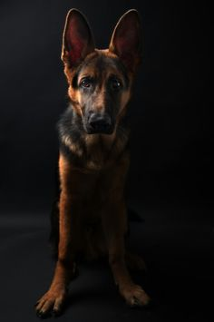Hope, the happy german shepherd, studio shooting.  Shot with Nikon D700