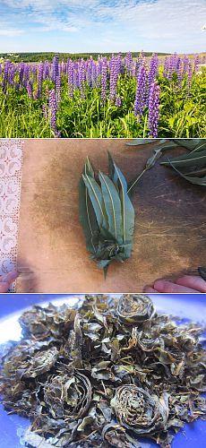 Как собрать и заготовить иван-чай. Полезные свойства иван-чая
