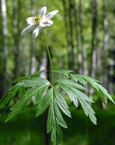 Buschwindröschen, Anemone nemorosa - Blütenpflanzen - NatureGate