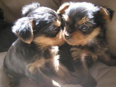 Absolutely adorable.....yorkie puppies