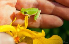 YeuThiTran, Graceful Green Tree Frog, The Australian green tree frog, simply green tree frog in Australia.