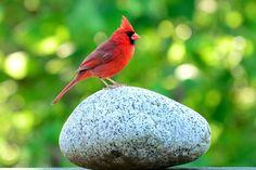 KENTUCKY Cardinal (aka Northern cardinal). Adopted 1942.Official Birds of Every State