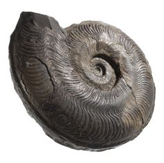 Fossil ammonite, Ammonoidea indet., from the Jurassic Period of Whitby, Yorkshire, England