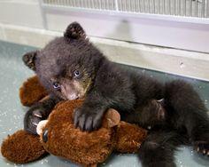 Gavon the bear hugs his likeness at the #Oregon Zoo. UnBEARable cute!