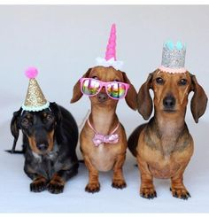 If youve never thrown a dog party before this is a good day to give it a chance. If youve never thrown a dog party before this is a good day to give it a chance. Happy Birthday Dachshund, Dog Birthday Hat, Birthday Party Hats, Birthday Cards, Dachshund Breed, Dachshund Funny, Dachshund Love, Daschund, Happy Birthday Images