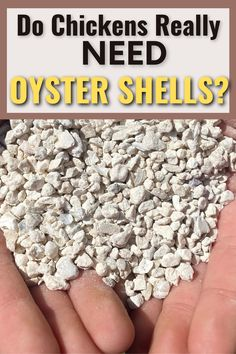 Are you wondering whether or not you need to give your chickens oyster shells? Most hens don't need oyster shells unless they need an extra dose of calcium. Here's when and how to give oyster shells to chickens. #chickens #calcium #oystershells Chicken Feed, Chicken Eggs, Raising Backyard Chickens, Laying Hens, Oyster Shells, Coops, Herbal Remedies, Farm Life