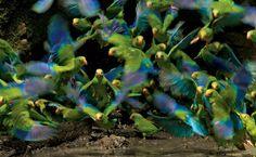 NG - Periquitos no Parque Nacional Yasuní, no Equador-Uma revoada de periquitos de asas cor de cobalto desce sobre as margens barrentas de uma lagoa. Cientistas identificaram 600 espécies de ave no parque, que ocupa quase 9.800 quilômetros quadrados de floresta úmida no leste do Equador