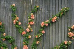 Climbing Rose Bush on Fence - IH092298 - Rights Managed - Stock ...