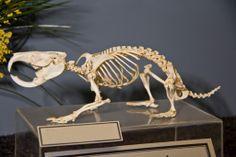 This is a skeleton of a Mole Rat, more specifically; the Cape Dune Mole Rat! Skeleton Anatomy, Skeleton Bones, Skull And Bones, Animal Skeletons, Animal Skulls, Skeleton System, Body Gestures, Skull Reference, Bare Bone