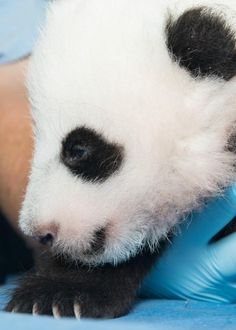 New, Exclusive Photos of the National Zoo's Panda Cub | Science & Nature | Smithsonian Magazine