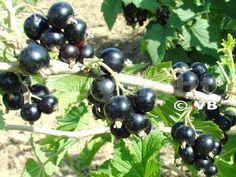 Ríbezľa (stromček) - 'Otelo' - Ovocná škôlka - STAPE VAJDA s.r.o. Fruit