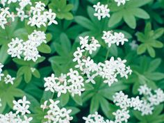 Sweet woodruff  produces a mat of fragrant, star-shaped leaves. Try using it as a groundcover for shady borders in your garden.