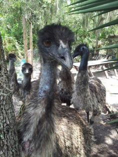 "I embarked my emu raising adventure a couple years ago. I wanted to hatch one so bad because they are ""cute,"" however it is more than just cuteness that wa"