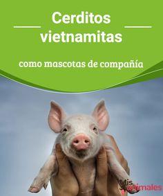 Cerditos vietnamitas como mascotas de compañía   Información necesaria a la hora de elegir cerditos vietnamitas como mascotas. Estos inteligentes y sensibles animales son los más pequeños entre las razas de cerdo. #compañía #cerdos #mascota #curiosidades