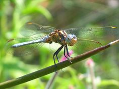 Sardinian Dragonfly