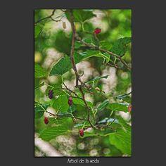 Meridiana claridad: Árbol de la seda