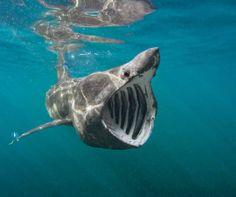 Basking #Shark, #Cornwall, #England