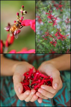Pineapple Sage – Hummingbirds and herbal flowered persimmon goat cheese by Juliet Blankespoor