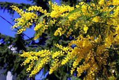 sari_mimoza_by_yurdalbilgic.jpg (600×403)