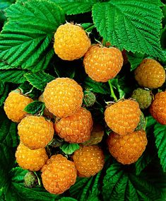 Raspberry 'Fall Gold' (Rubus idaeus ) blooms in early summer with beautiful white flowers. The sweet fruits have a separate yellow color and ripen in July-August. | Netherlands
