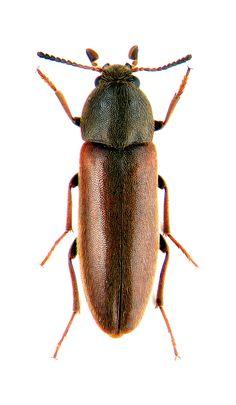 xylita laevigata Melandryidae