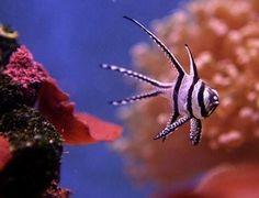 Exotic fish... Bangaii cardinal fish