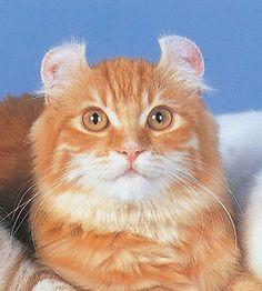 耳がくるりんキュートな猫!アメリカンカールまとめ〜耳掃除が難しい… - NAVER まとめ