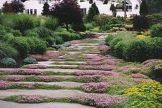 This natural garden pathway in Saddle River, Bergen County NJ has large blue stone slabs that are wide. It is complemented by the pink flowering Thymus pseudolanuginosus (Woolly thyme).