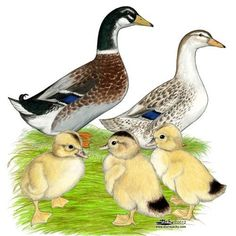 Silver Appleyard Ducks Silver Appleyard Ducklings
