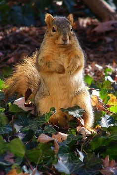 Squirrels at the University of Michigan- more numerous than students