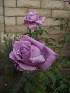 Charles de Gaulle - Roses Forum - GardenWeb