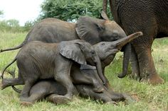 Elephant playtime...the youngsters having a rough-and-tumble moment!