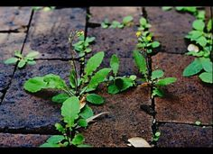How to kill weeds in cracks . . . spray with vinegar.