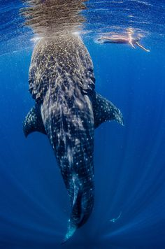 Yes I am pinning whale sharks again!!! I wanna swim with them so bad!