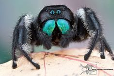 Phidippus regius - Regal Jumping spider by Colin Hutton, via Spider Identification, Animals And Pets, Cute Animals, Spider Art, Itsy Bitsy Spider, Jumping Spider, Interesting Animals, Beautiful Bugs, Insect Art