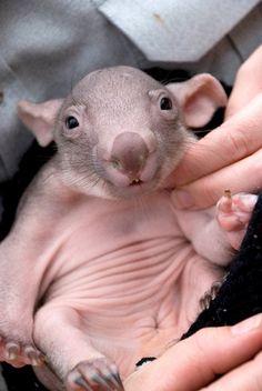 Newborn wombat
