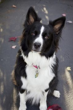 My border collie mix - Missy #bordercollie