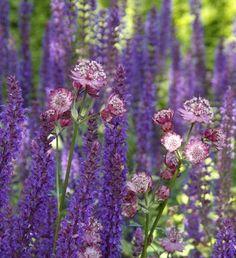 Salie / Salvia nemorosa (blauwe bloemen) & Zeeuws knoopje / Astrantia…