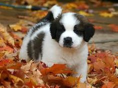 St. Bernard Puppies - when your puppy lays around and gets fat, it's his job.  When your boyfriend does it, he loses his...