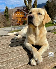 Cute Puppies, Cute Dogs, Animals And Pets, Cute Animals, Black Labs, Dogs Of The World, Happy Dogs, Beautiful Dogs, Animal Pictures